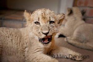 lion cub yawn